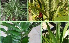 Tinginio gėlės: kambariniai augalai, kuriuos ypač lengva auginti