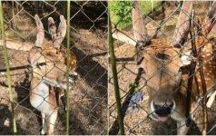Virvėse įkalinto danieliaus kančios: supančiotas gyvūnas pagalbos laukė savaitę