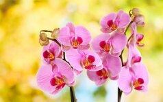 5 populiariausios orchidėjų rūšys Lietuvoje