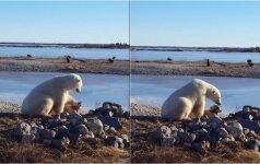 Neįtikėtina akimirka: Kanadoje baltasis lokys glosto kinkomąjį šunį