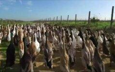 Pietų Afrikos vynuogynus gelbėja kovingai nusiteikusios antys bėgikės