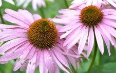 Įdomu: afrodiziakai – augalai aistrai