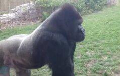 Pamokanti klaida: nedarykite to pamatę gorilą