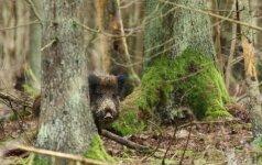 Afrikinis kiaulių maras: ką turi žinoti šerną nušovęs medžiotojas