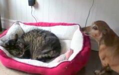 Video: atkakli takso ir katino kova dėl lovos