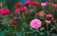 Mažas sodas: kaip susikurti mielą akiai rožyną