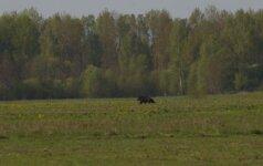 Trakų rajone pastebėtas rudasis lokys
