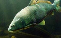 Rūpinamės kūdra prieš žiemą: ką reikia žinoti apie žuvis