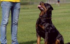 8 - oji dresūros pamoka: kaip elgtis, jei šuo tempia pavadėlį?