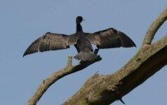Ar kormoranų populiacijos mažinimas nesibaigs jų išnykimu?