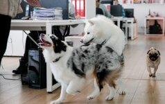 Biuro neįsivaizduoja be šunų: štai taip atrodo vilniečių darbo diena