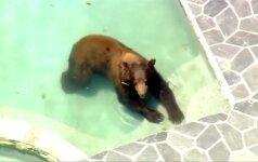 Los Andžele lokys įsliūkino į žmonių baseiną ir smagiai pasipliuškeno