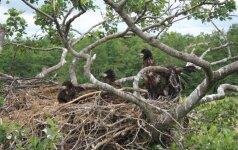 Pareigūnai nusitaikė į naikinančius paukščių lizdus: gresia baudžiamoji atsakomybė