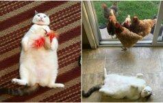 Katino populiarumas glumina: jį persekioja visos vištos