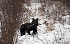 Staigmena Lietuvos miškuose: nenustebkite sutikę lokį