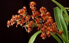 Pažintis su orchidėja, kuri skleidžia intensyvų vanilės ir prieskonių kvapą