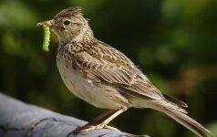 Žuvinte daugėja paukščių
