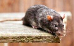 Kaip juokiasi kutenama žiurkė?