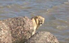 Netoli Indijos vakarinių krantų pastebėtas plaukiantis liūtas