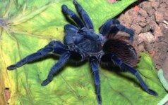 Mėlynasis tarantulas / Tarptautinio rūšių tyrinėjimo instituto nuotr.
