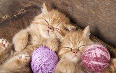 Kačių pasaulio įdomybės: kačių kaimas, viešbutis ir pirmasis JK katinas