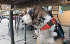 DELFI eksperimentas: kaip kavinėse elgiasi didelis dresuotas šuo?