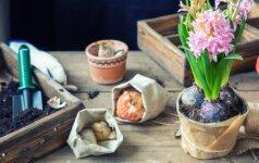 Pavasarį skelbiantys hiacintai: kaip juos prižiūrėti ir sodinti?