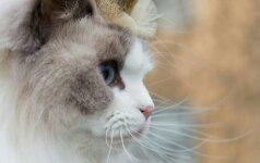 Karališko kraujo turinti katė stebina savo šeimininkus