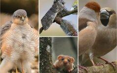 Lietuvos gamta: svilikų meilė, išsipustęs paukštvanagis ir pūkanugaris