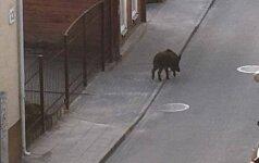 Socialiniuose tinkluose plinta Vilniaus gatvėmis klaidžiojančio šerno nuotraukos