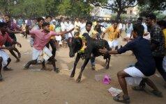 Indijoje imtynių su jaučiais festivalio metu užbadyti du žmonės