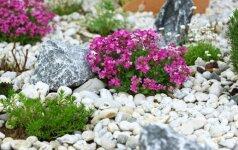 Tinkamiausių augalų alpinariumui parinkimas