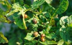 Bulvių ligos bei kenkėjai – ką reikėtų žinoti?
