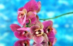 Netikėti faktai apie orchidėjas