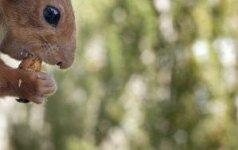 Voverių populiaciją kontroliuoti siekiantis virėjas siūlo voverių kebabus