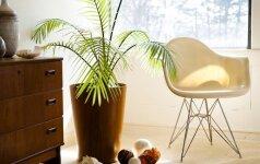 Naudingiausi kambariniai augalai nuo galvos skausmo, nemigos