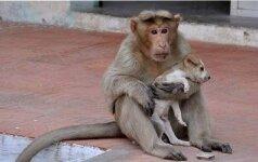 Neįtikėtina drąsa: beždžionė išgelbėjo užpultą šuniuką ir tapo jo mama