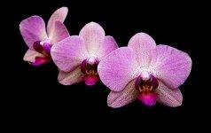 Išbandyta: kaip priversti orchidėją žydėti