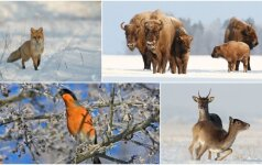 Žiemiška gamta: miško žvėrys džiaugiasi sniegu