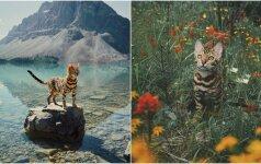 Gniaužia kvapą: Bengalijos katės keliones seka tūkstančiai
