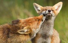 Jaudinančiose nuotraukose – užburiančios lapių meilės istorijos