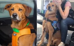 Jautrus vaizdo įrašas: pažiūrėkite, kaip terapinis šuo puola gelbėti šeimininkės