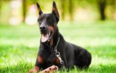 Dobermanai – sutverti saugoti ir ginti