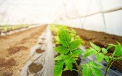 Suskaičiavo, kiek daržovių daigų sodinti