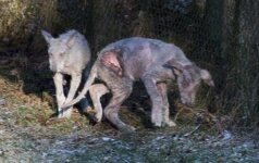 """Siaubo filmas """"Žvėrinčiuje"""": liepė nutraukti ten laikomų vilkų kančias"""
