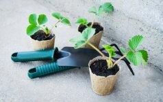 Svarbiausi vasario darbai sode, darže ir gėlyne