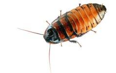 Galvos skausmas: kaip atsikratyti tarakonų