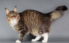 Kaip katės uodegos padėtis išduoda jos emocijas