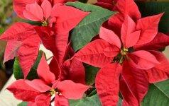 Gėlė, be kurios neįsivaizduojamos Kalėdos