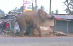 Nufilmuota: Indijos kaime įsiutęs dramblys apgadino 100 pastatų